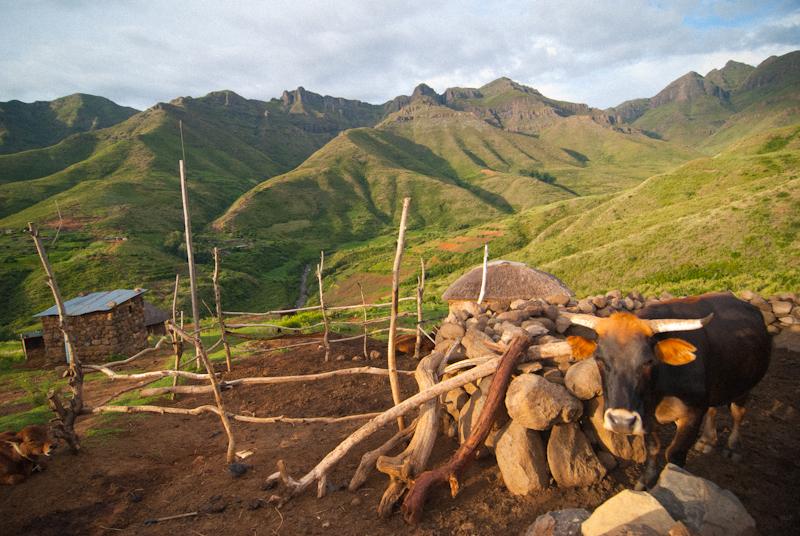 cow in kraal