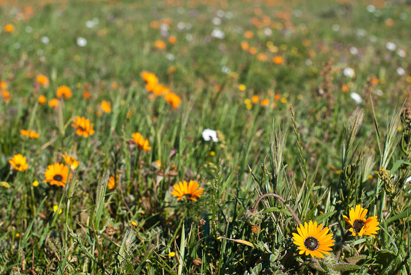 wildflowers at west coast national park