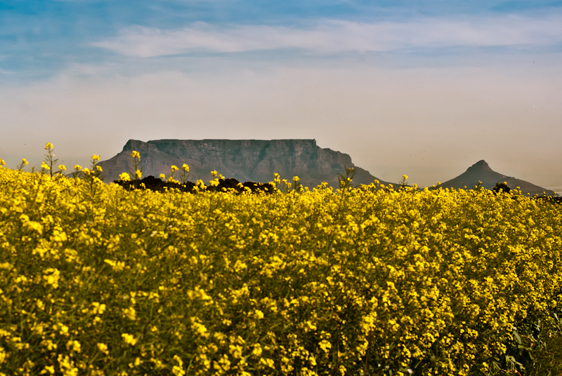 table mountain and canola