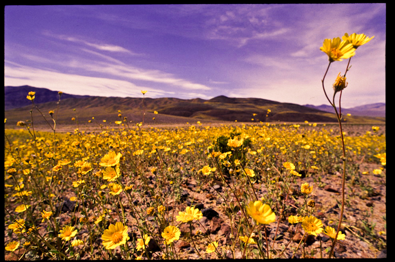 death valley wildflower bloom